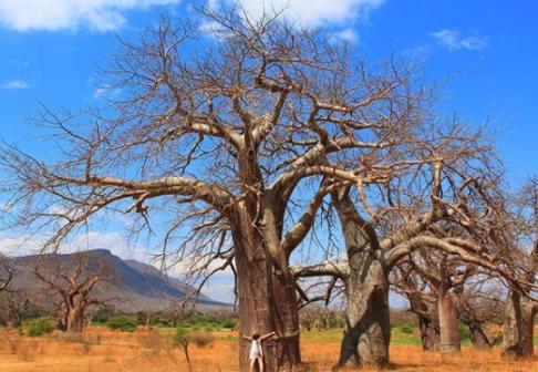 An enormous baobab tree