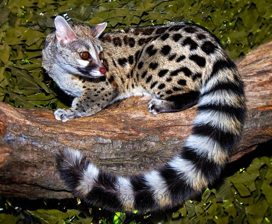 small-spotted-genet-nice