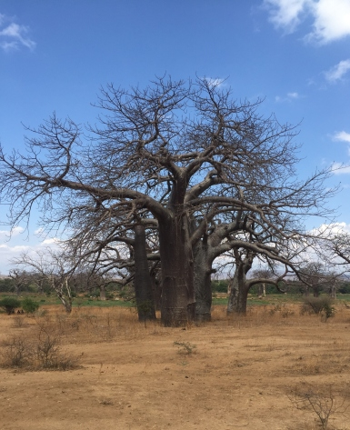 A beautiful Baobab