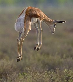 """A springbok """"spronking""""."""
